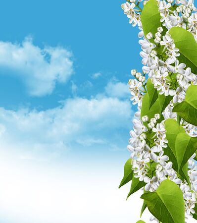 scrub grass: Lilac branch on a background of blue sky with clouds. Delicate flowers. Scrub delicate spring flowers