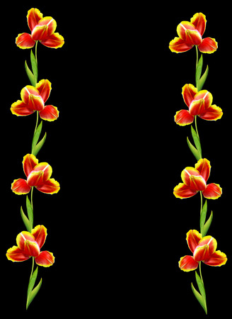 red tulips: spring flowers tulips isolated on black background. Red tulips Stock Photo