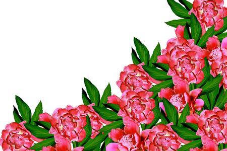 path to romance: peony flowers isolated on white background. spring flowers Stock Photo