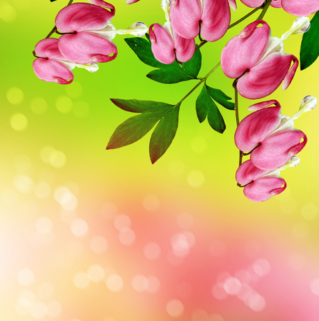 bleeding heart: pink bleeding heart flower. beautiful pink flowers