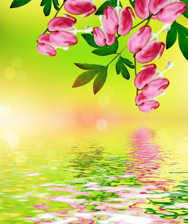 heart flower: pink bleeding heart flower. beautiful pink flowers