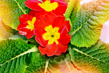 Floral background with beautiful bright spring flowers primrose floral background with beautiful bright spring flowers primrose spring landscape stock photo 53372446 mightylinksfo