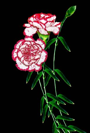 path to romance: Bouquet of flowers carnation. Flowers isolated on black background.