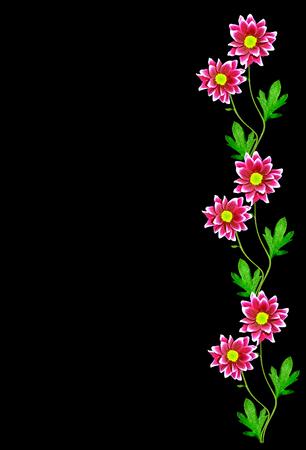 golden daisy: chrysanthemum Flowers isolated on black background.