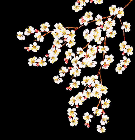 grass beautiful: White apricot flowers branch isolated on black background