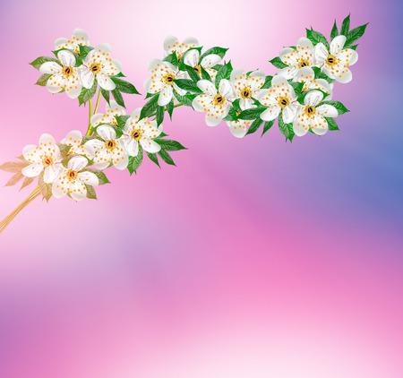 fleur de cerisier: Floraison de cerise