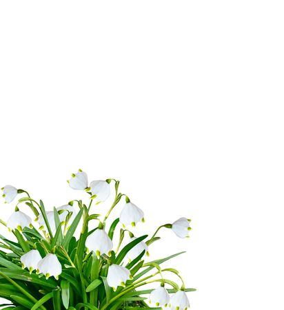 path to romance: spring flowers snowdrops isolated on white background. Delicate flower