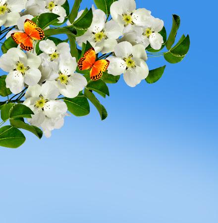 spring landscape. Flowering pear. Spring flowering garden. Stock Photo