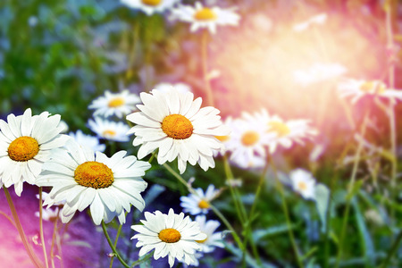 landscape flowers: Wildflowers daisies. Summer landscape. white chamomile flowers Stock Photo