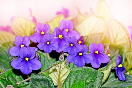 Bouquet of colorful flowers of violets. delicate flowers Stock Photo