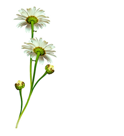 path to romance: daisies summer white flower isolated on white background. White flowers Stock Photo