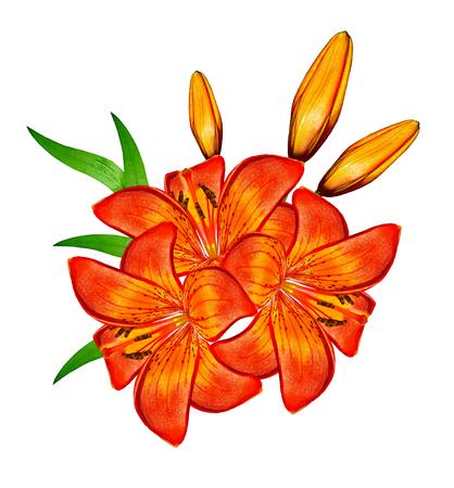 flor de lis: Lirio de flores aisladas sobre fondo blanco. Flor delicada