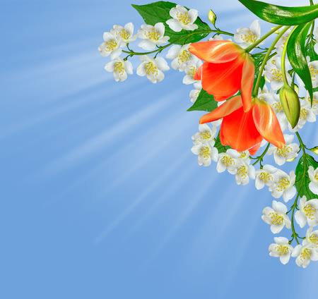 red tulip: White jasmine flower. The branch delicate spring flowers. red tulip