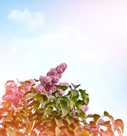 fragrant: Spring landscape. Fragrant branch of beautiful flowers lilac. Stock Photo