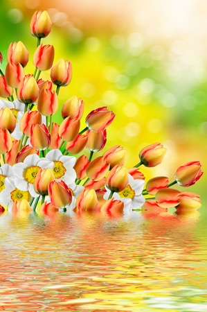 red tulip: Spring landscape. beautiful spring flowers daffodils. red tulip