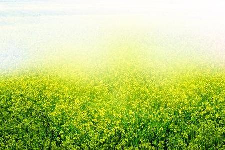 cress: Summer landscape. Yellow flowers winter cress. rape