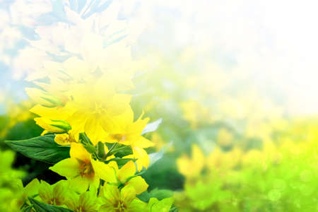 yellow wildflowers: Summer landscape with yellow wildflowers. yellow flowers