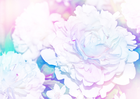 considerable: Floral background. Spring landscape. Beautiful blooming spring flowers peonies. Stock Photo