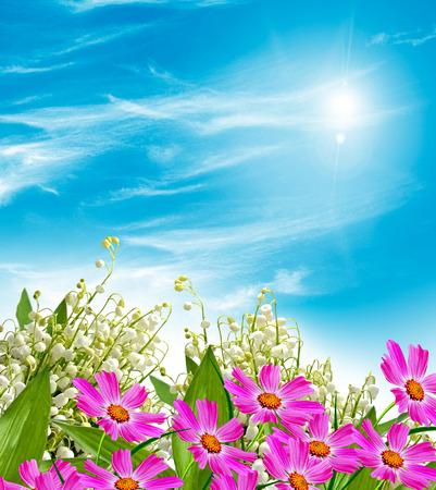 cosmos fleurs. Belles fleurs cosmos. Paysage d'été.