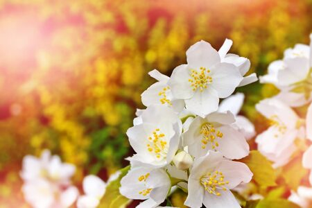 considerable: Spring landscape with delicate jasmine flowers. White flowers
