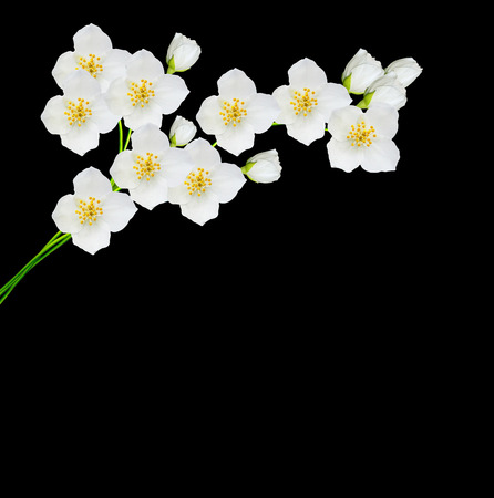 White jasmine flower branch of jasmine flowers isolated on stock stock photo white jasmine flower branch of jasmine flowers isolated on black background mightylinksfo