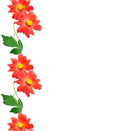 golden daisy: Bouquet of flowers dahlias. Flowers isolated on white background. Stock Photo