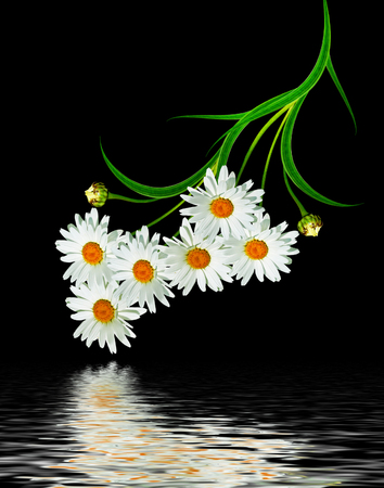 path to romance: Daisy flower isolated on black background