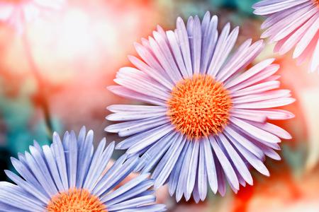 blue daisy: Summer landscape. Colorful blue daisy flowers