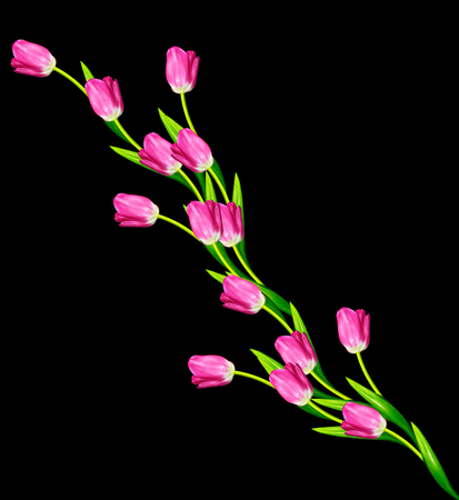 vernal: spring flowers tulips isolated on black background.
