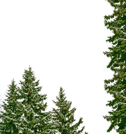 Schnee bedeckte Bäume. Tannenzweig isoliert auf weißem Hintergrund.