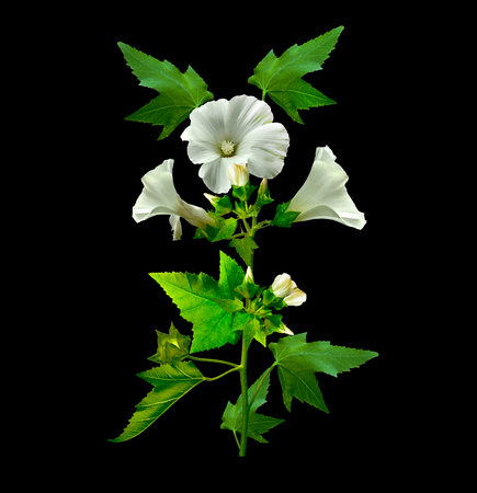 mallow: mallow  isolated on black background. colorful flowers Stock Photo