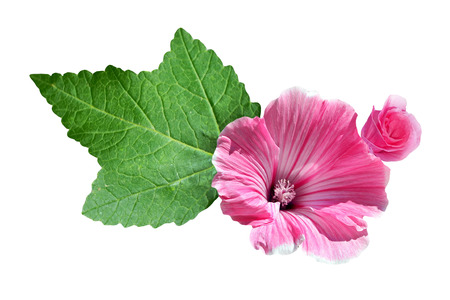 tera: lavatera  isolated on white background. bright flower Stock Photo