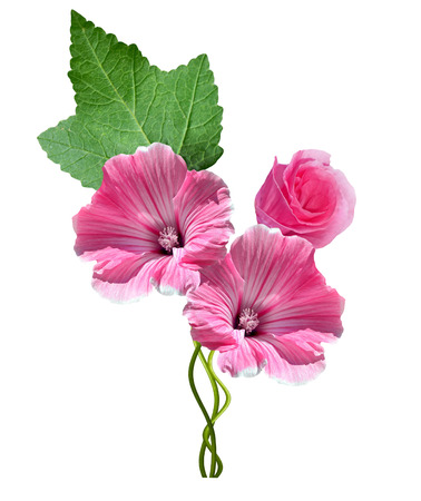 lavatera flowers isolated on white background. bright flower Stock Photo
