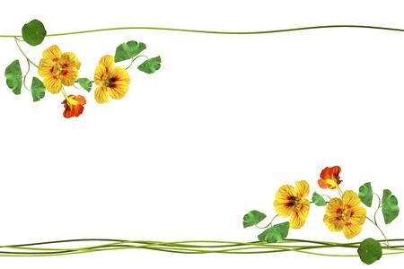 path to romance: nasturtium flowers isolated on white background. Summer