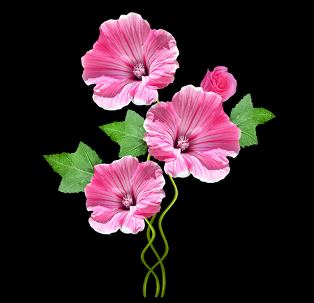 tera: lavatera  isolated on black background. bright flower