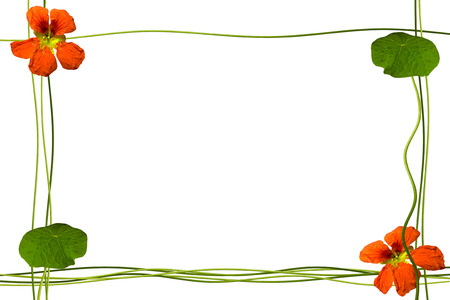 path to romance: flowers isolated on white background. Summer. Frame from stem nasturtium.