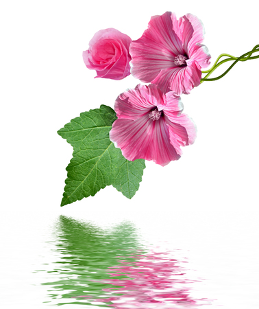 tera: lavatera flowers isolated on white background. bright flower Stock Photo
