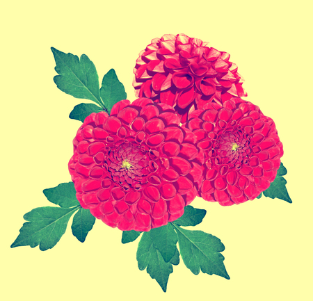 path to romance: Flowers dahlias isolated on yellow background. colorful flowers