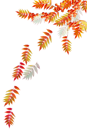 sorb: Colorful autumn foliage isolated on white background. Indian summer. Stock Photo