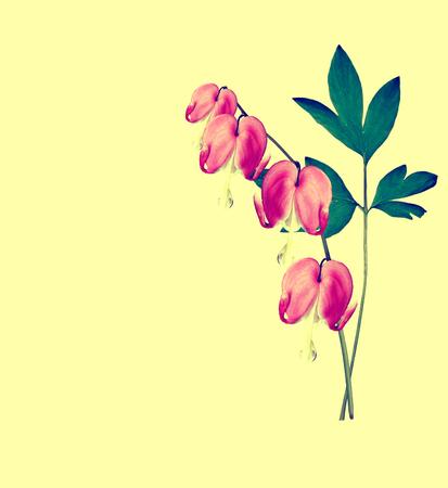 hemorragias: pink bleeding heart flower. Dicentra isolated on yellow background Foto de archivo