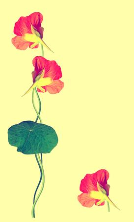 path to romance: nasturtium flowers isolated on yellow background Stock Photo