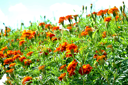 Colorful bright flowers marigold against the background of the summer landscape.