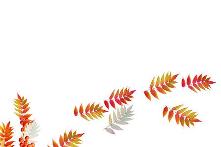 indian summer: Colorful autumn foliage isolated on white background. Indian summer. Stock Photo