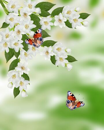considerable: Spring landscape with delicate jasmine flowers. butterfly