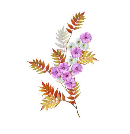 Autumn colorful morning glory flowers isolated on white background. rowan