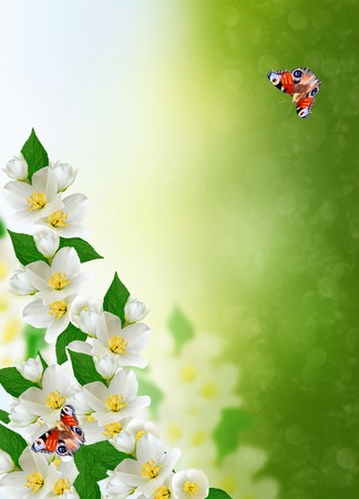 white jasmine flower on a background of the spring landscape. butterfly