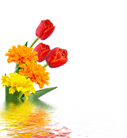 spring flowers tulips isolated on white background. marigold