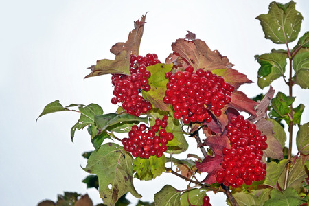 sorb: Branch with red berries viburnum. Autumn landscape.