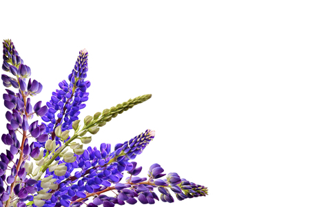 hand colored: lupines beautiful flowers on a white background
