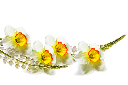 spring flowers narcissus isolated on white background Stock Photo